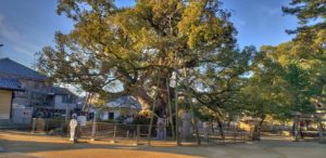 """Both of the two camphor trees, located beside Minamidaimon Kita and Goshamei Shrine, are said to be 1,000 years old, and are large trees reminiscent of the time when Daishi was a child and when Zentsuji was founded. It has been designated as a natural monument in Kagawa Prefecture as """"Great Gus in the precincts of Zentsuji Temple""""."""